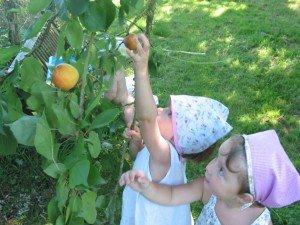 Muffins chocolat - abricots du jardin ♥ dans A table !!!! 23juillet12-058-300x225