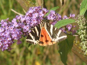 Addiction aux photos de papillons dans Aimer et découvrir la nature 20aout12-022-300x225