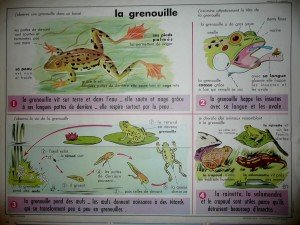 grenouille-affiche-mdi-300x225