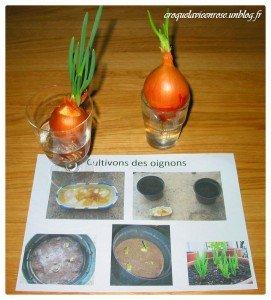Nos exp riences botaniques croquelavieenrose - Comment planter des oignons ...