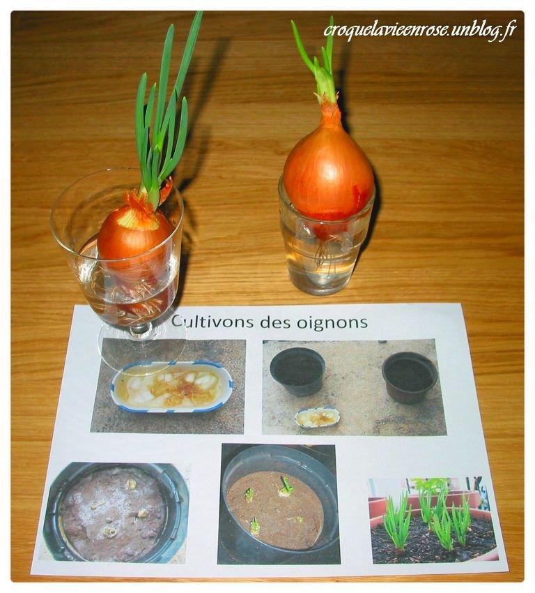 Nos exp riences botaniques croquelavieenrose - Comment planter les oignons ...